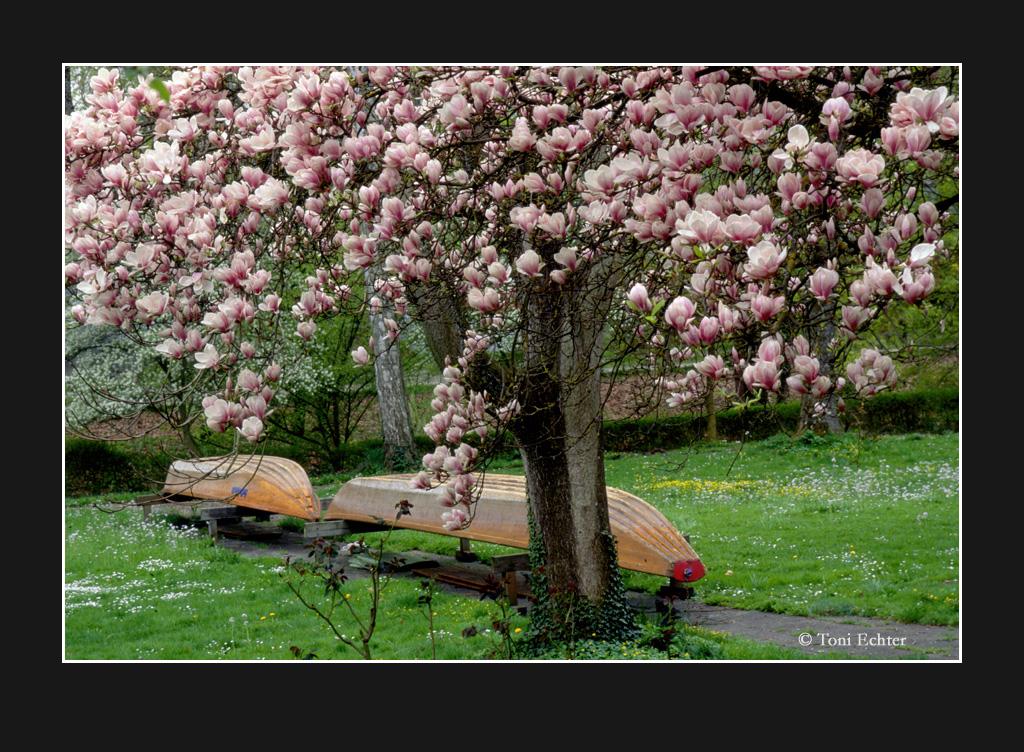 Stiftskähne-magnolienblüte-2009