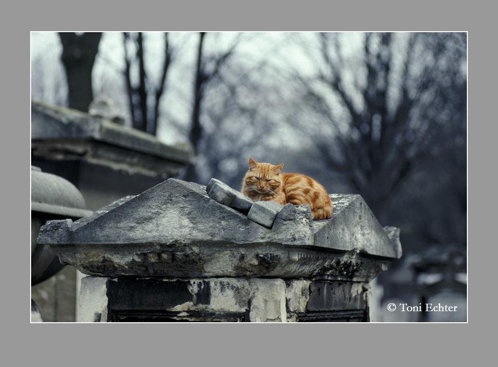 chat rouge cimetiere montmartre 1988