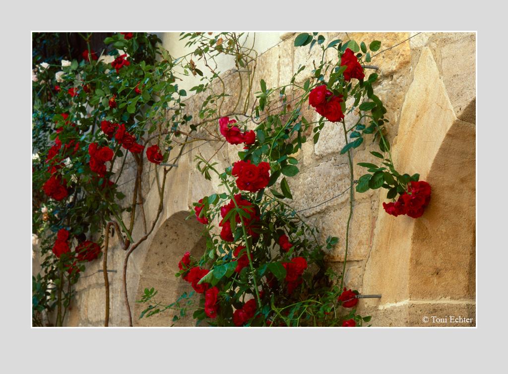 stift-rosenbluete-innenhof